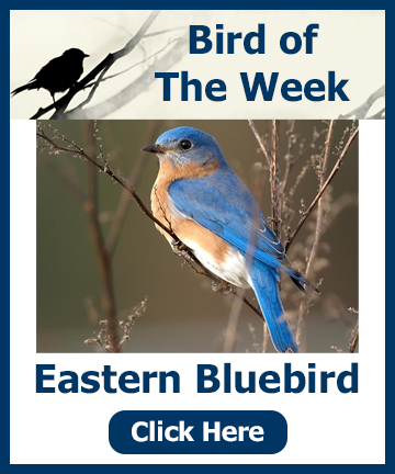 Bird of the Week - Eastern Bluebird