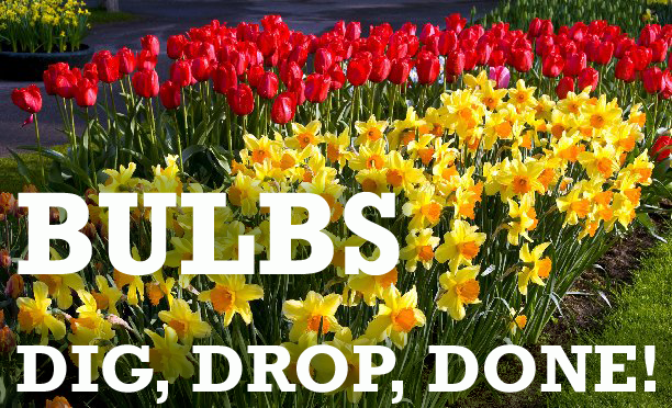 Bulb garden with tulip and daffodil blooms and wording - Bulbs, Dig, Drop, Done
