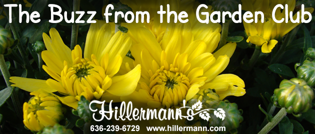 Hillermann Nursery and Florist email heading - with a hardy garden mum picture taken at Hillermann Nursery and Florist on 8-19-19