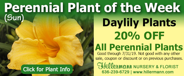 Perennial Plant of the Week - Daylily - click the image for plant information - Hillermann Nursery and Florist