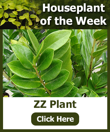 Houseplant of the Week - ZZ Plant. Click the image for an article