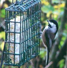 A chickadee on a suet bird feeder