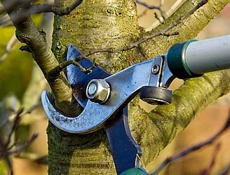 Picture of tree pruning