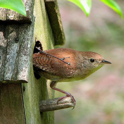 House wren on a birdhouse