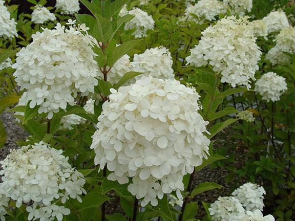 White Hydrangea blooms at Hillermann Nursery and Florist