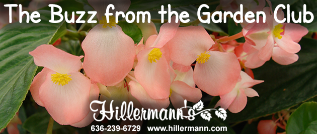 Picture of dragon wing begonias with text for newsletter heading. Hillermann Nursery and Florist - 636-239-6729 - www.hillermann.com