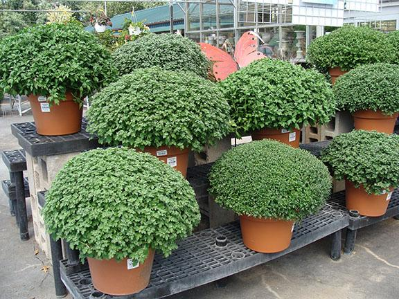 Monster sized Hardy Garden Mums at Hillermann Nursery and Florist
