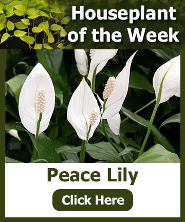 Houseplant of the Week - Peace Lily