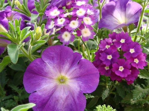 Annual flowers at Hillermann Nursery and Florist