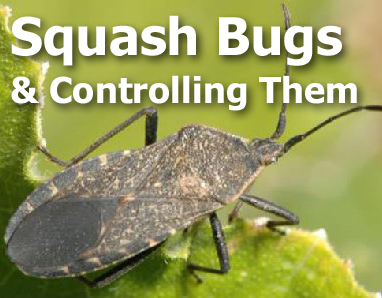 Picture of a squash bug with text - Squash Bugs and controlling them
