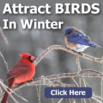 Title block with a cardinal and bluebird and text - Attract Birds In Winter
