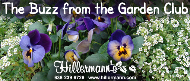 Cool season annual flowers with text and logo - The Buzz from the Garden Club - Hillermann Nursery and Florist - 636-239-6729 - www.hillermann.com