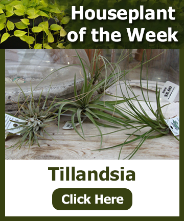 Houseplant of the Week 1-31-18 - Tillandsia! Click the image for information and a special offer!