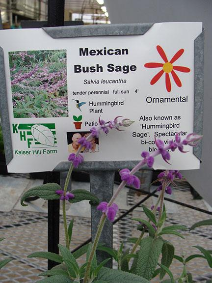 Mexican Bush Sage herb plants in the greenhouse at Hillermann Nursery and Florist