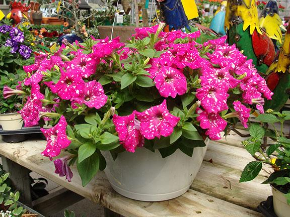 Hanging basket at Hillermann Nursery and Florist