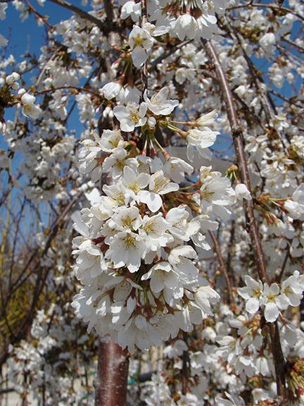 Plants available at Hillermann Nursery and Florist - April 2019