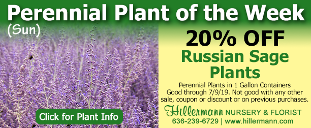 Perennial of the Week - Russian Sage - Click for plant information