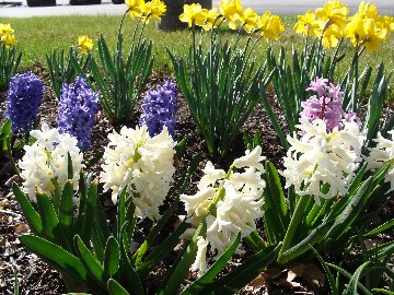 Hyacinth and Daffodil blooms in the gardens at Hillermann Nursery and Florist