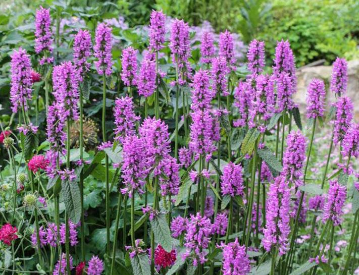Stachys Hummelo - Perennial Plant Associations 2019 Perennial Plant of the Year