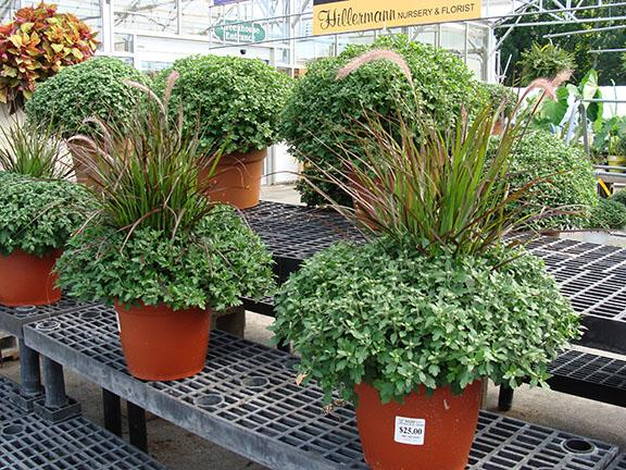 Hardy Garden Mums in a 12 inch container with purple fountain grass in middle at Hillermann Nursery and Florist