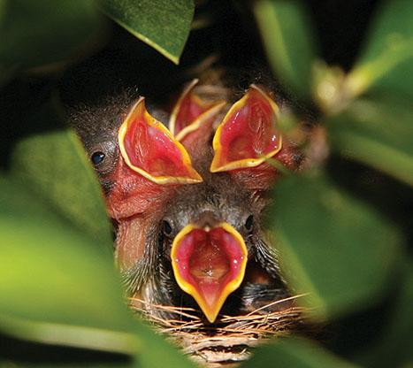 Baby birds in a nest photo taken by Alan Pulley