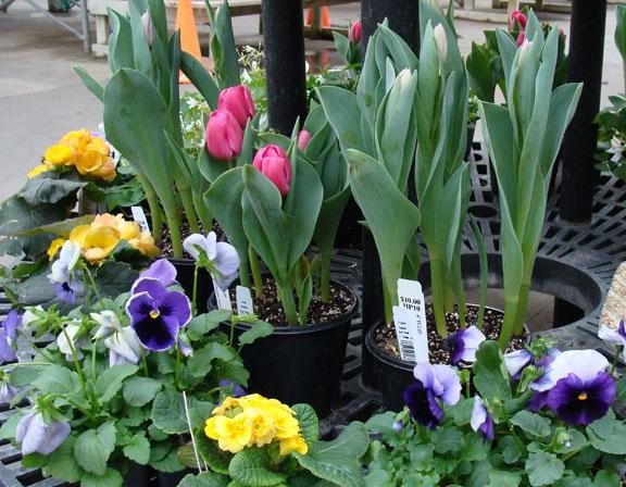 Spring blooming pansies - tulips - primrose and more in the greenhouse at Hillermann Nursery and Florist