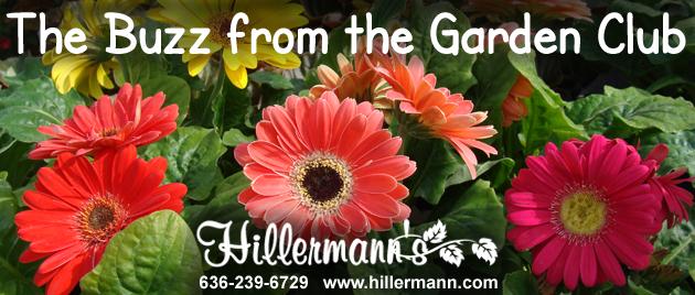 Gerbera Daisies at Hillermann Nursery and Florist in Washington, Missouri - www.hillermann.com