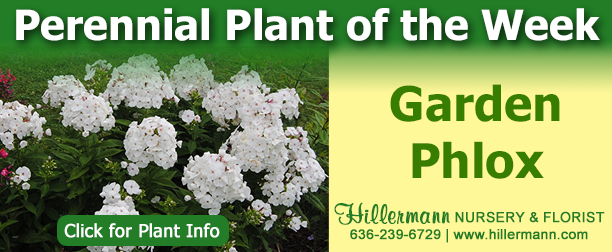 Perennial Plant of the Week - Garden Phlox. Click for plant information