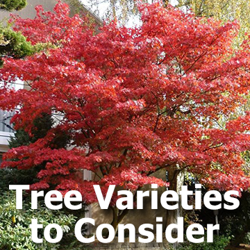 Tree Varieties to Consider article title graphic with a pretty Japanese Maple tree picture