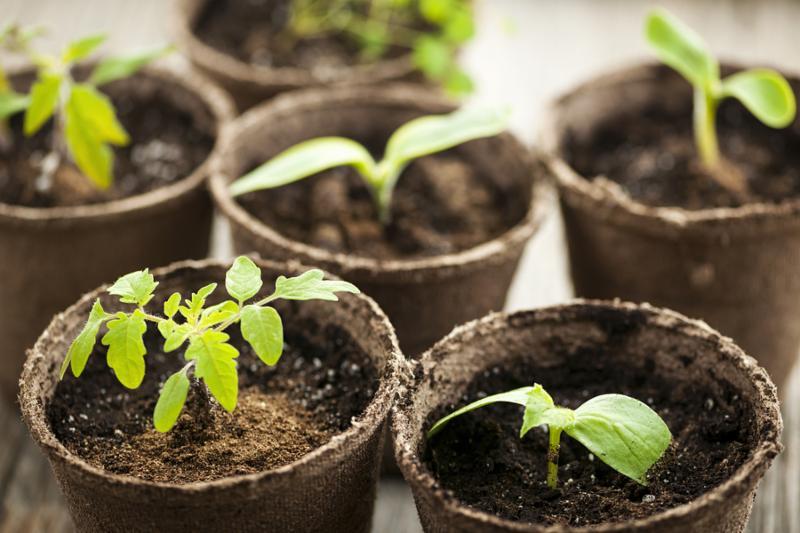 Seedling plants in peat pots