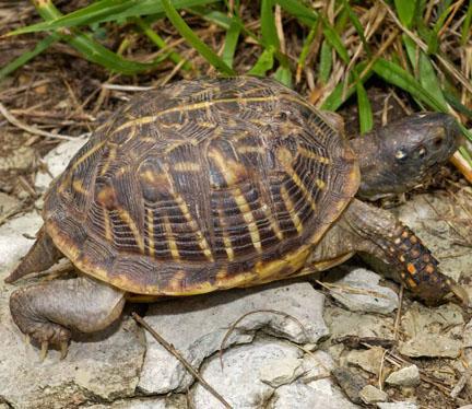 Ornate box turtle photo - courtesy of Missouri Department of Conservation