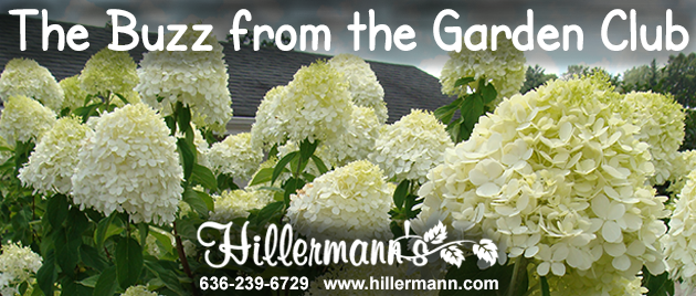 Picture of hydrangea tree blooms at Hillermann Nursery and Florist - with Hillermann Logo - 636-239-6729 - www.hillermann.com