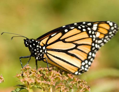 Monarch Butterfly - Missouri Department of Conservation photographer