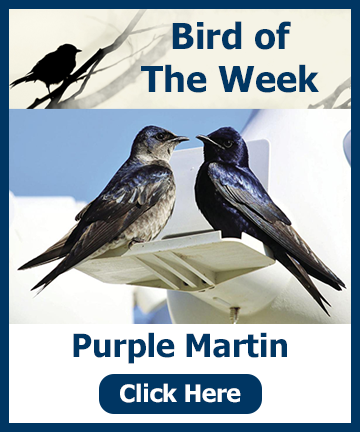 Bird of the Week - Purple Martin click the link for an article