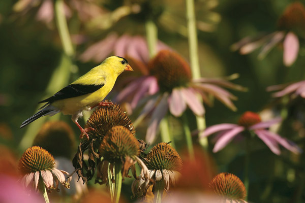 Goldfinch bird on purple coneflower seed heads - State by State Gardening