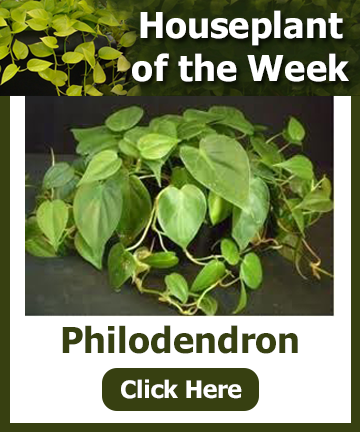 Houseplant of the Week - Philodendron. Click for information and a special offer
