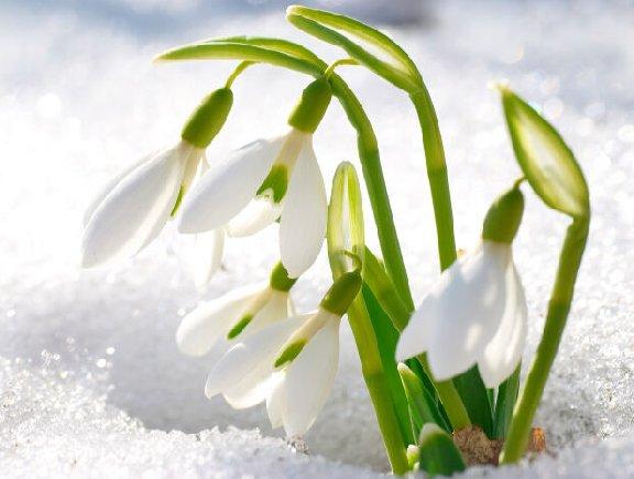 Snowdrop flower blooming in snow