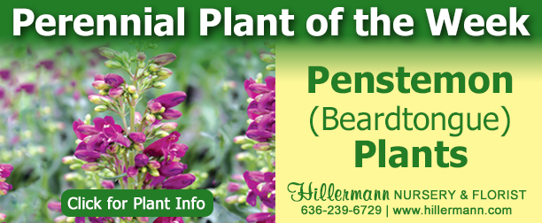 Perennial Plant of the Week - Penstemon - Click for plant information