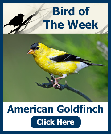 Bird of the Week - American Goldfinch - Click for info and a special offer