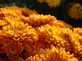 Orange Hillermann Grown Mums