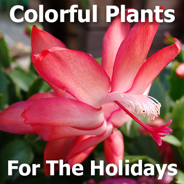Pretty Christmas cactus picture with text - Colorful Plants for the Holidays