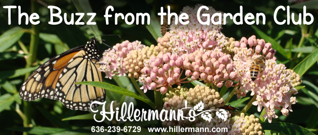 Picture with a monarch butterfly and bees on swamp milkweed flower blooms taken by Diane at Hillermann Nursery and Florist with logo and store information added