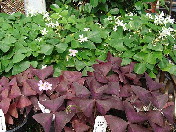 Red and green shamrock plants at Hillermann Nursery & Florist