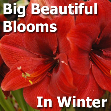 Big Beautiful Blooms in Winter - picture and text