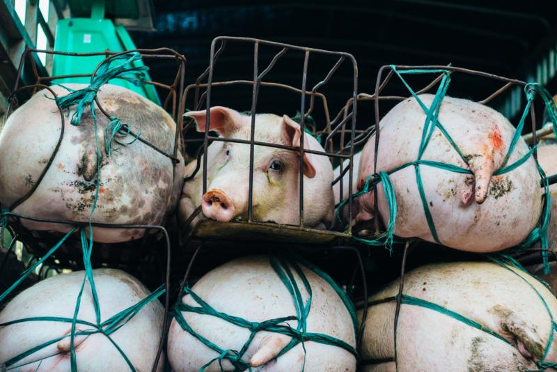 confined factory farm pigs