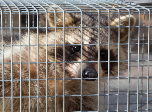 Closeup of a raccoon_ Procyon lotor_ caught in an animal trap looking through the wire cage