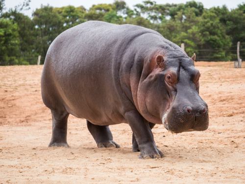 The common hippopotamus_ Hippopotamus amphibius_ or hippo_ is a large_ mostly herbivorous_ semiaquatic mammal native to sub-Saharan Africa