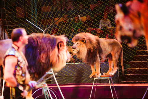 Trainers stands among lions and tigers on ring in circus
