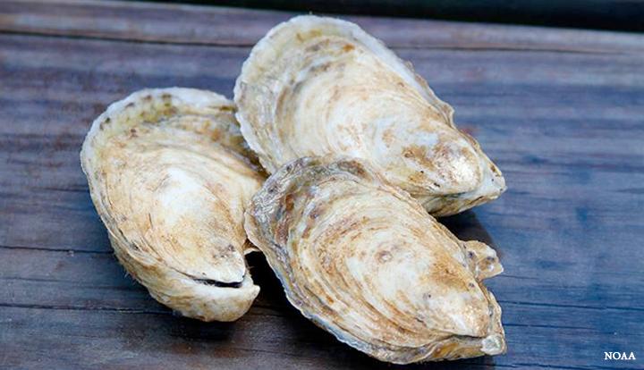 Hatchery oysters. Image courtesy of Georgia Sea Grant, NOAA