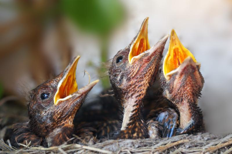 bird_nest_young_birds.jpg